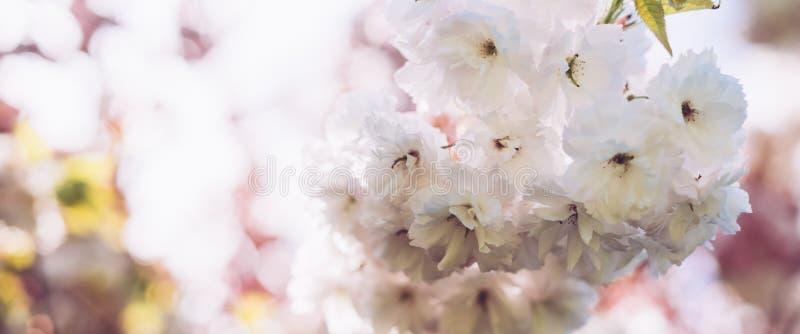 宏观桃红色开花樱桃树在春天庭院,在背景特写镜头的佐仓树,卡片的美丽的浪漫花清洗spac 免版税图库摄影
