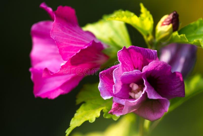 宏观照片哦木槿植物 与模糊的叶子的紫罗兰色颜色花 库存照片