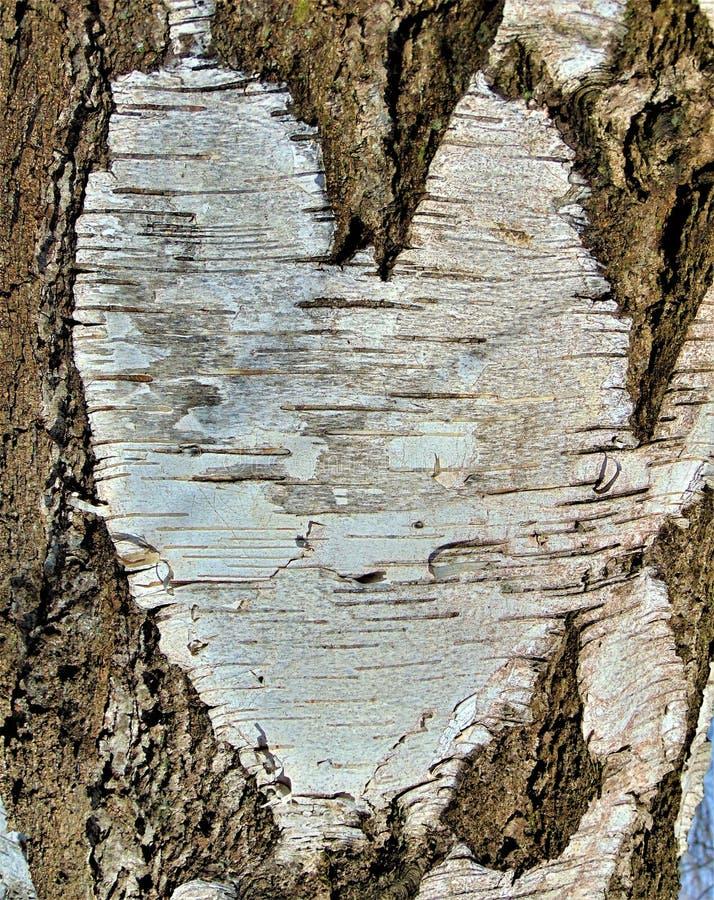 宏观照片有树皮桦树心脏的一个抽象样式的自然本底 免版税库存图片