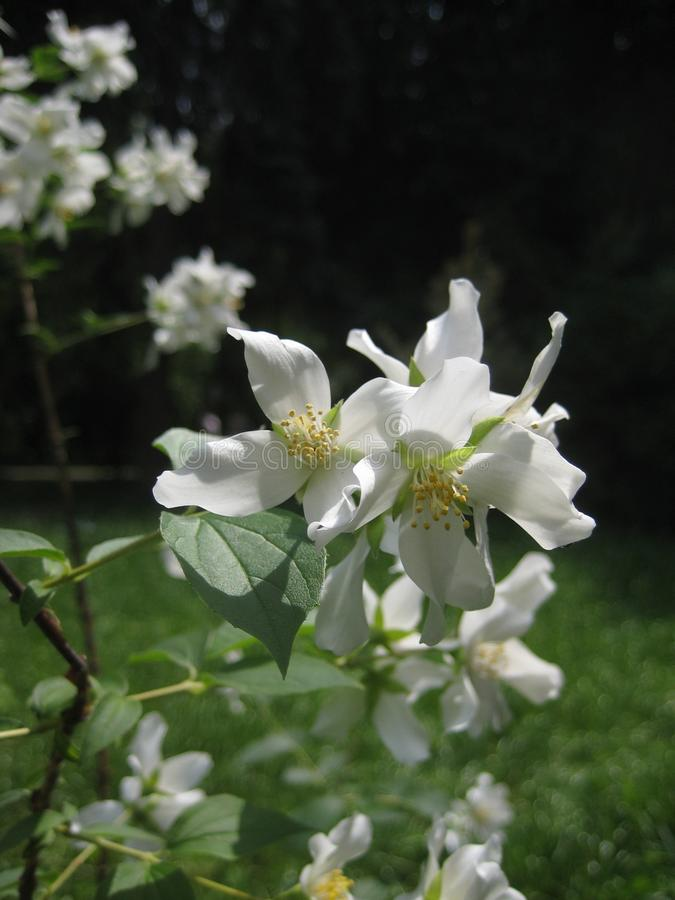 宏观照片有进展的白色精美花茉莉花树枝装饰背景  库存照片