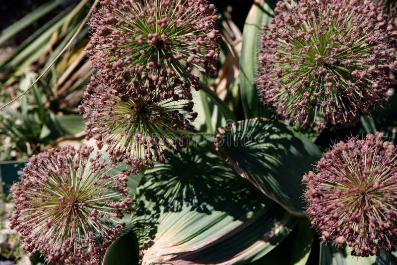 宏观照片自然紫色葱属葱花 圆的蓬松开花的淡紫色颜色葱属背景纹理  库存照片