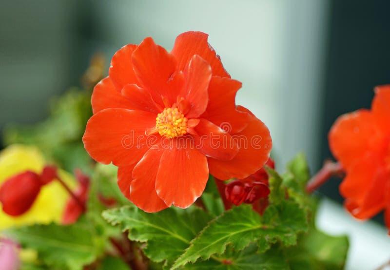 宏观特写镜头生动的橙色秋海棠花 免版税库存图片