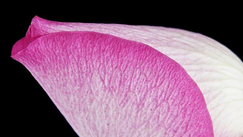 宏观玫瑰花蕾 库存图片