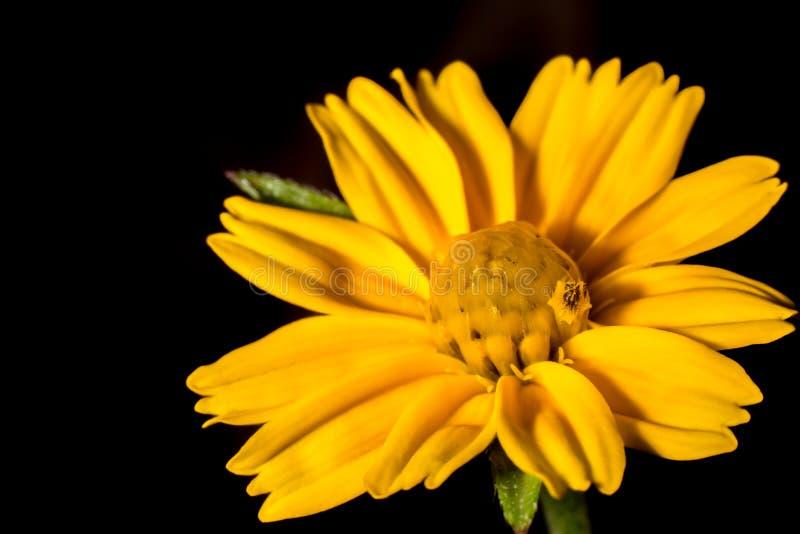 宏观矮小的黄色花和黑背景 免版税库存照片