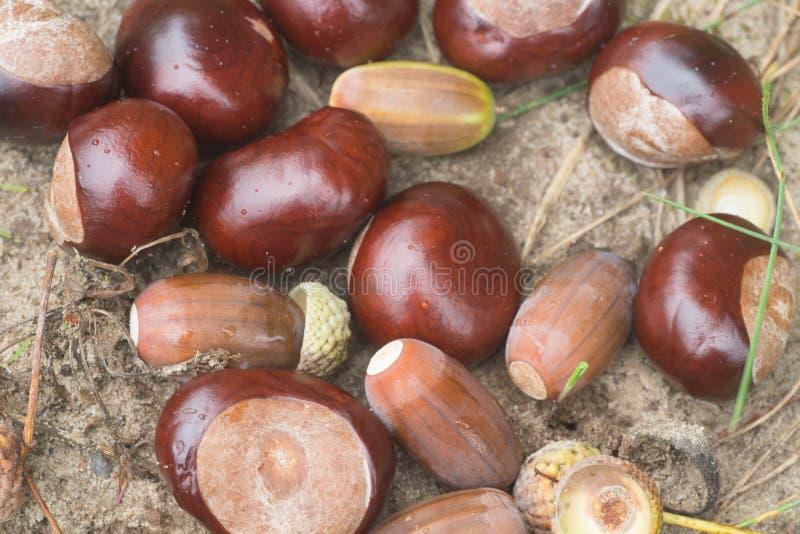 宏观秋天的栗子和的橡子 免版税库存照片