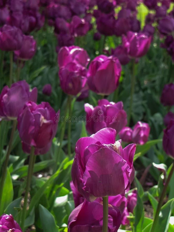 宏观紫色郁金香有绿色背景 库存图片