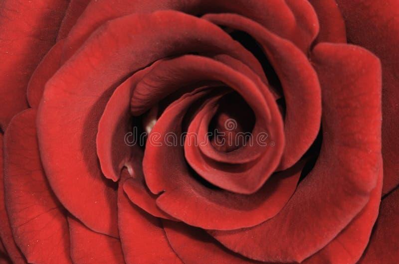 宏观红色上升了 图库摄影