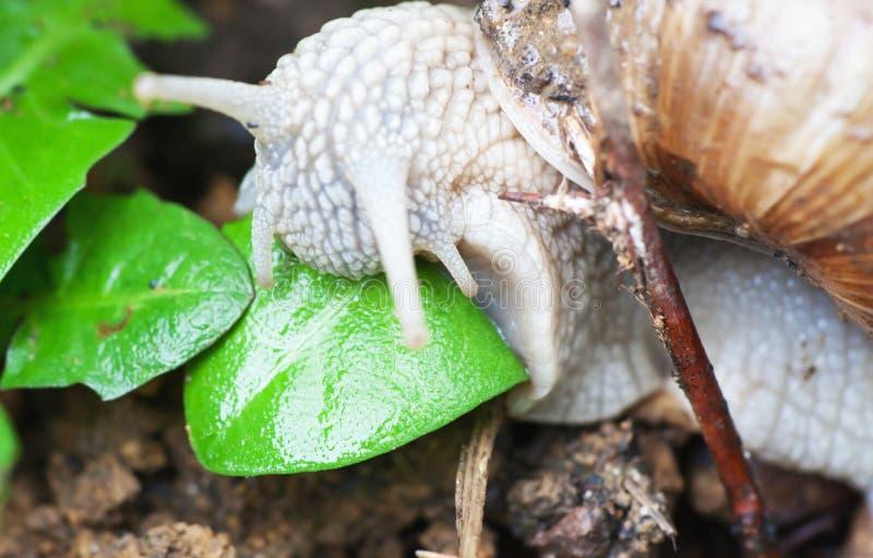 宏观罗马蜗牛吃叶子. 野生生物, 宏指令.图片