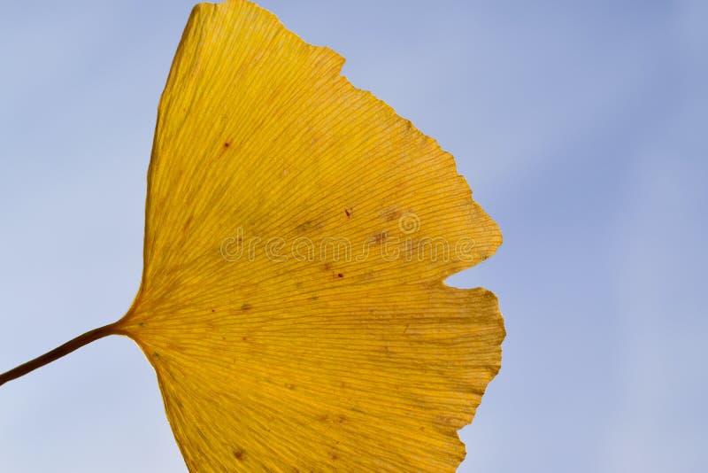 宏观背景日本秋天黄色银杏树叶子 库存照片