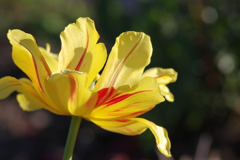 宏观花黄色郁金香在庭院里 库存照片