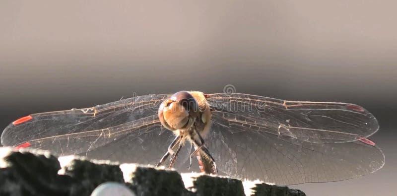 宏观蜻蜓本质上 免版税库存图片