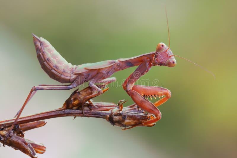 宏观螳螂祈祷 库存图片