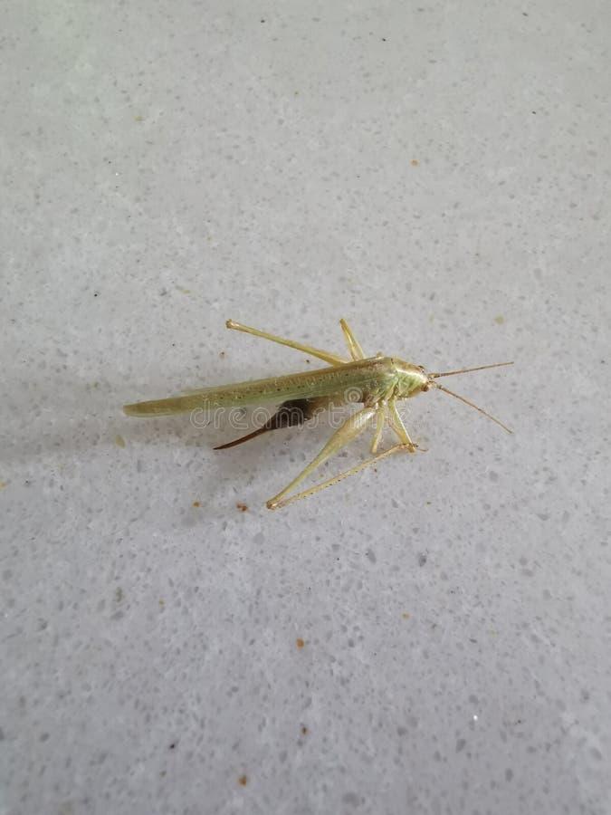 宏观观点的一只死的昆虫绿色蚂蚱 图库摄影