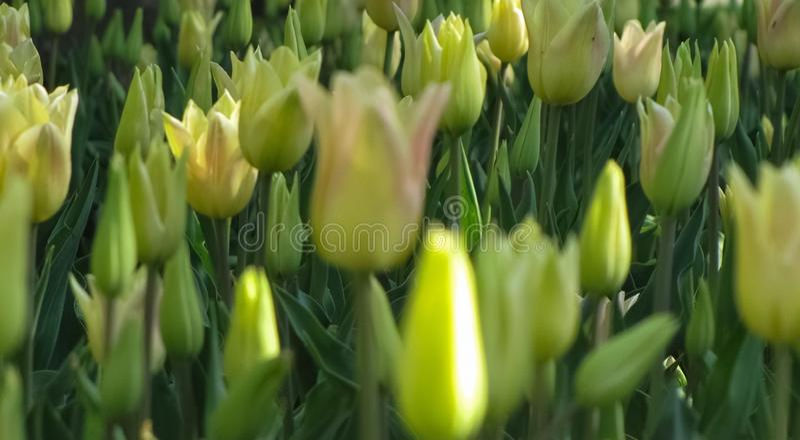 宏观观点的闭合的黄色郁金香 免版税库存图片
