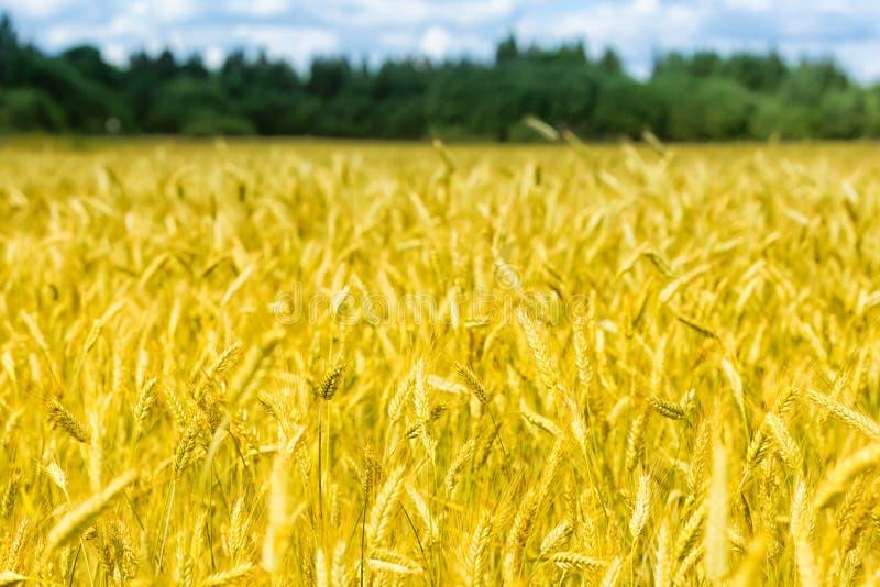宏观金子调遣有蓝天和云彩的,农村乡下麦子全景 库存图片