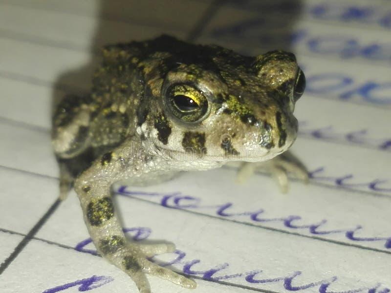 宏观青蛙 免版税库存照片