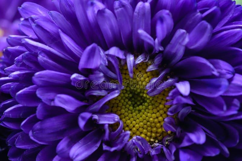 宏观紫色和黄色花 免版税图库摄影
