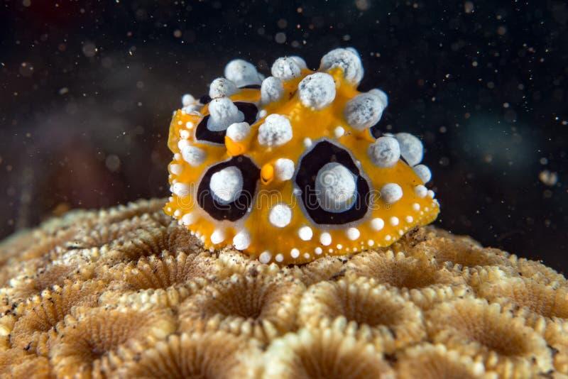 宏观细节的五颜六色的chromodoris nudibranch关闭在印度尼西亚 免版税库存图片
