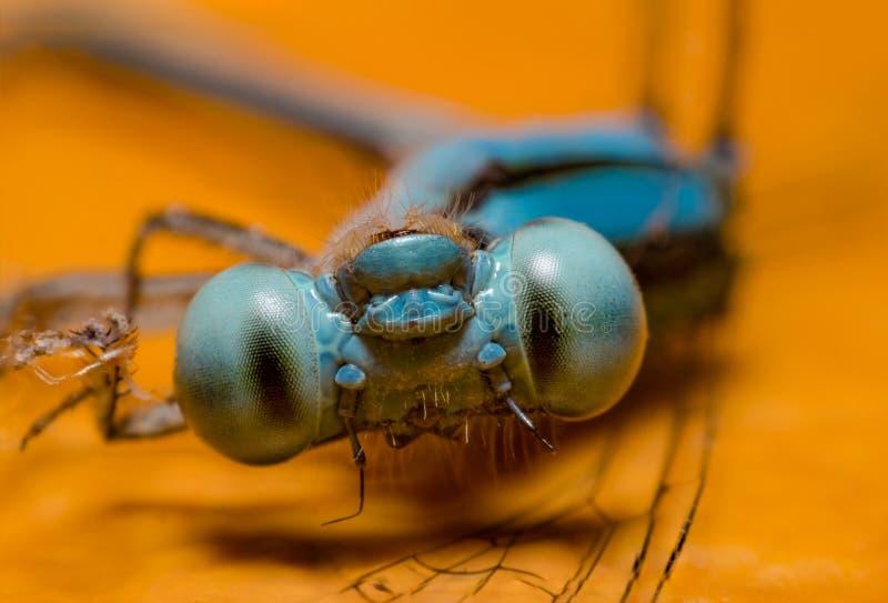 宏观蜻蜓 库存照片