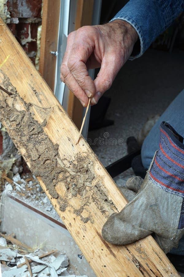 实况显示白蚁和木头损伤的人 免版税库存照片