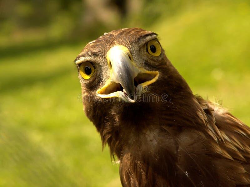 实际的老鹰 免版税库存照片