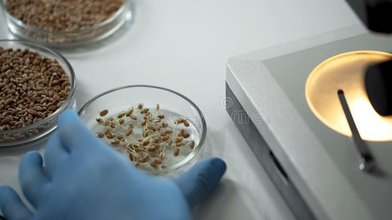 实验室专家的饲养修改了庄稼品种,有机五谷生长 免版税图库摄影