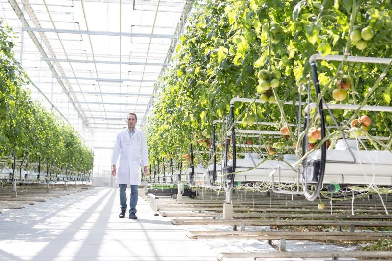 实验室外套的科学家走在植物中的在温室 免版税图库摄影