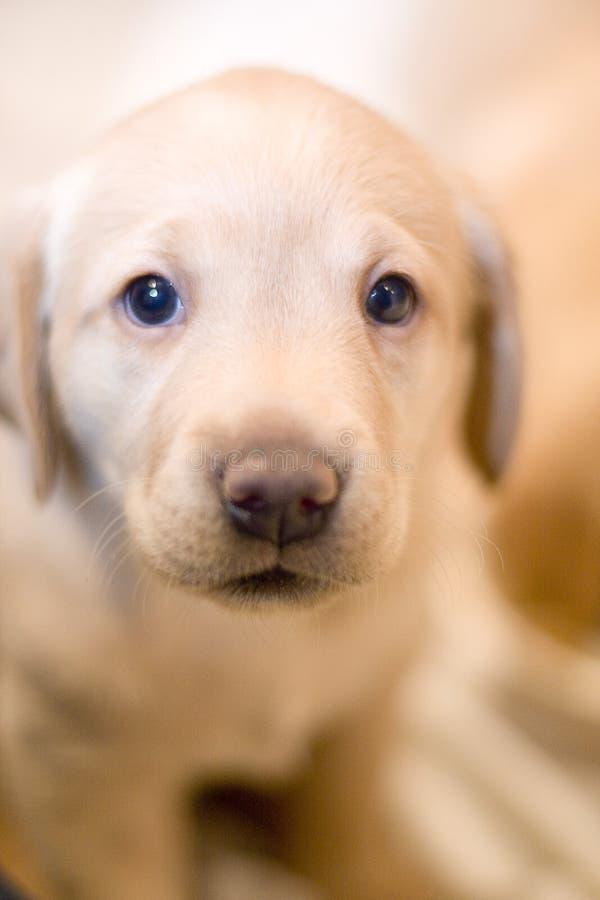 实验室小狗黄色 库存照片