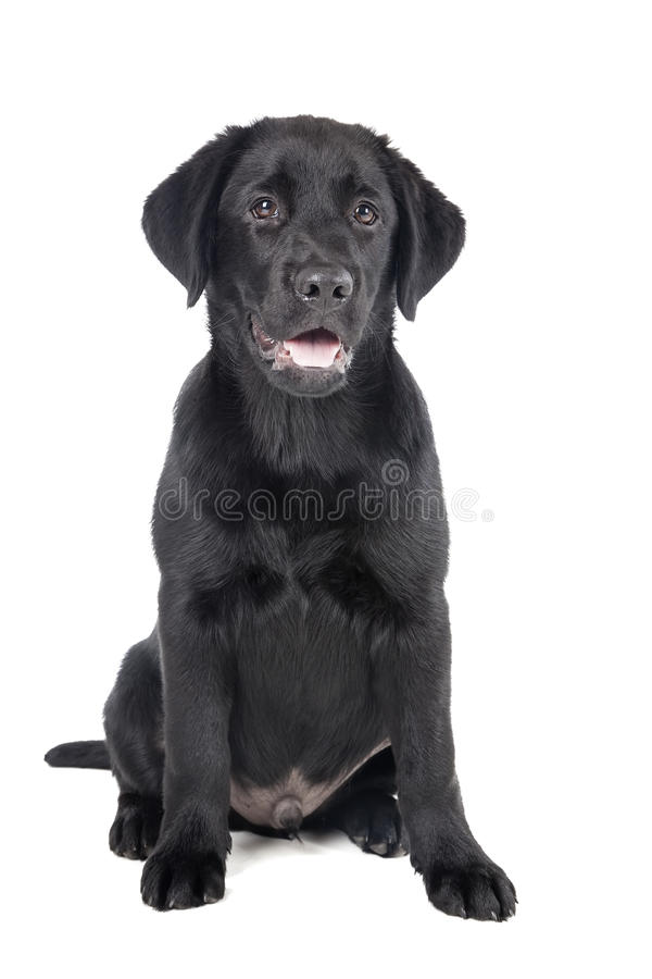 黑实验室小狗,两个月 免版税库存图片