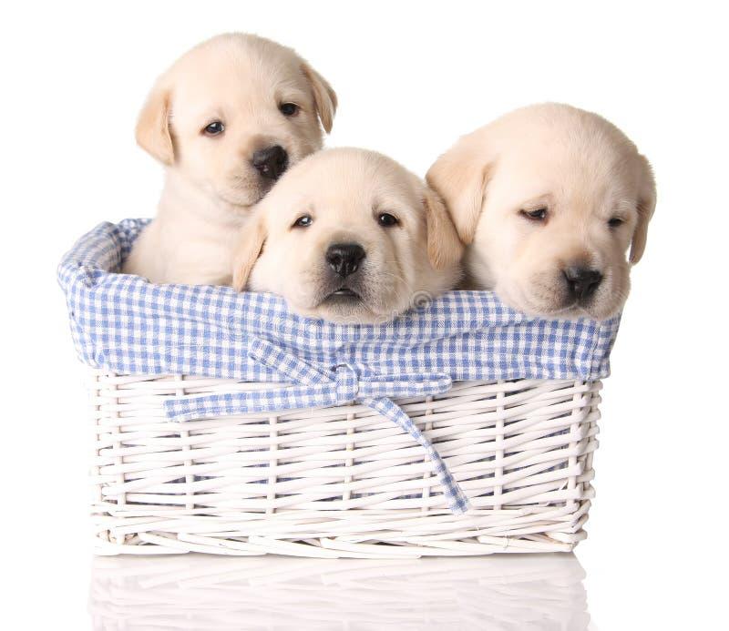 实验室小狗 免版税库存照片