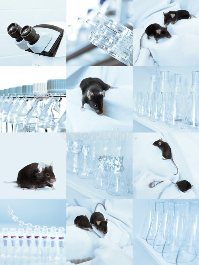 实验室老鼠,套图片 库存图片