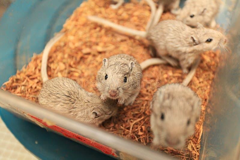 实验室老鼠 免版税图库摄影