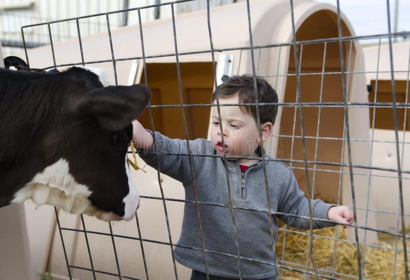 宠爱小牛的小孩男孩 免版税库存照片