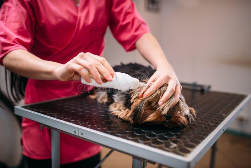 宠爱groomer,小犬座的耳朵清洁 免版税库存图片
