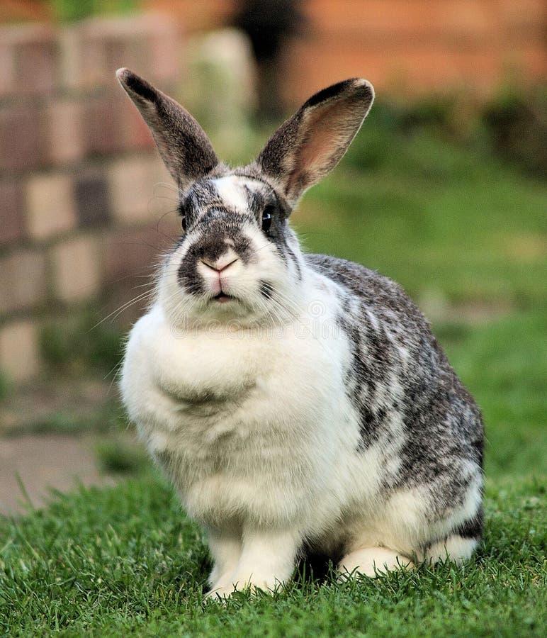 宠物兔子 库存照片