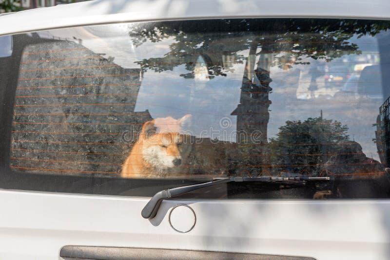 宠物在车里左转 免版税库存照片