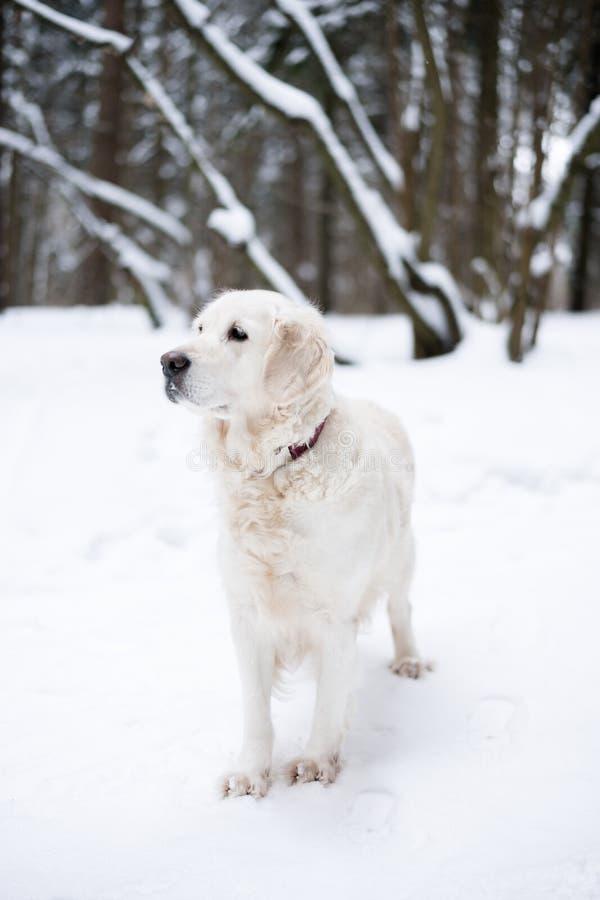 宠物本质上 秀丽狗的画象 美好的金毛猎犬逗留在冬天积雪的森林里 免版税图库摄影
