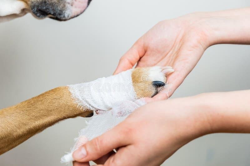宠物概念医院治疗:包扎狗的爪子 免版税库存照片