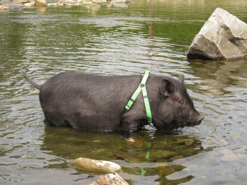 宠物猪在水中 免版税库存照片