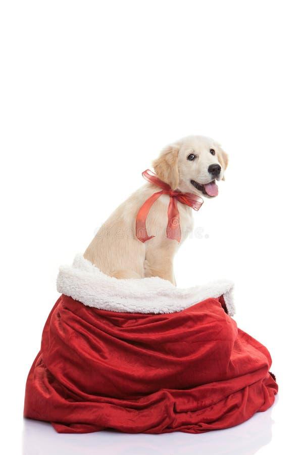 宠物礼物为圣诞节假日 库存图片