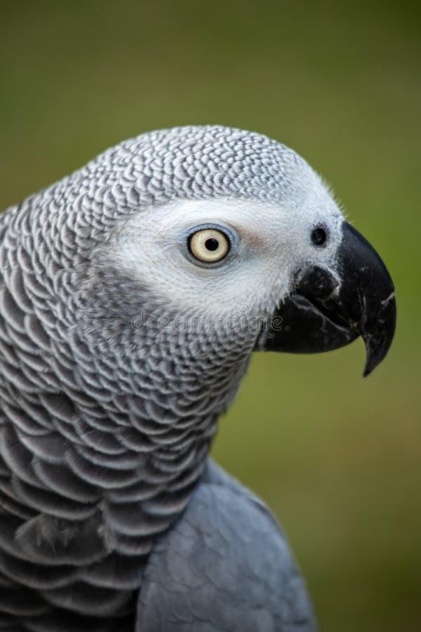 宠物非洲人般的灰色是一位好仿造物和健谈的人 免版税图库摄影