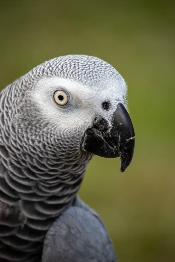 宠物非洲人般的灰色是一位好仿造物和健谈的人 库存照片