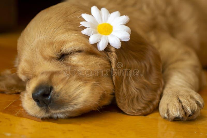 宠物;英国猎犬小狗睡觉室内 免版税库存图片