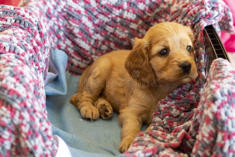 宠物;英国猎犬小狗睡觉室内 免版税图库摄影