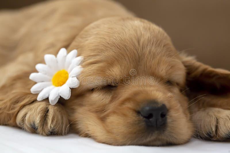 宠物;英国猎犬小狗睡觉室内 免版税库存照片