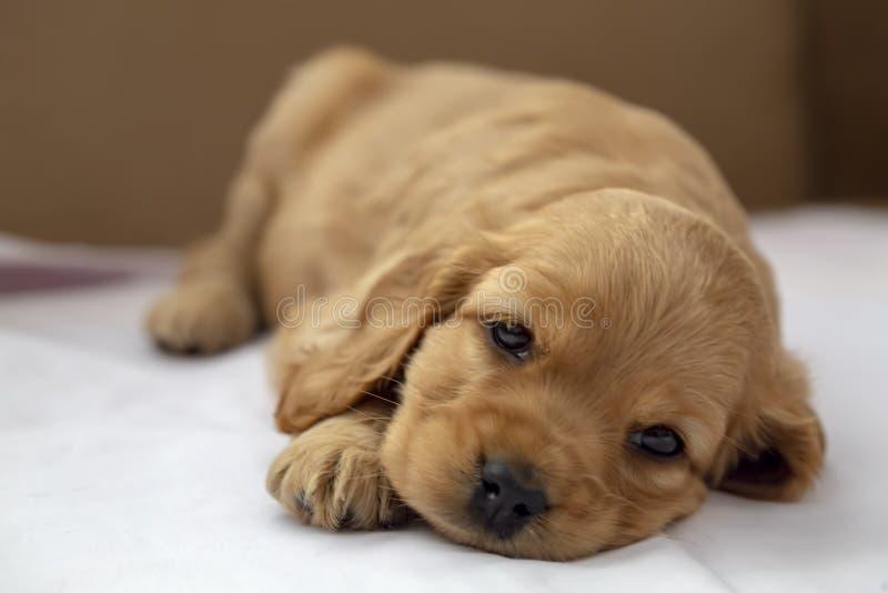 宠物;英国猎犬小狗睡觉室内 库存图片