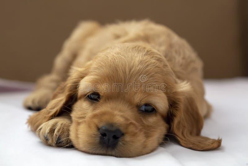 宠物;英国猎犬小狗睡觉室内 图库摄影