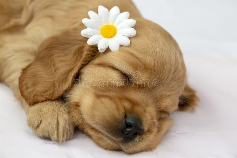 宠物;英国猎犬小狗睡觉室内 库存照片