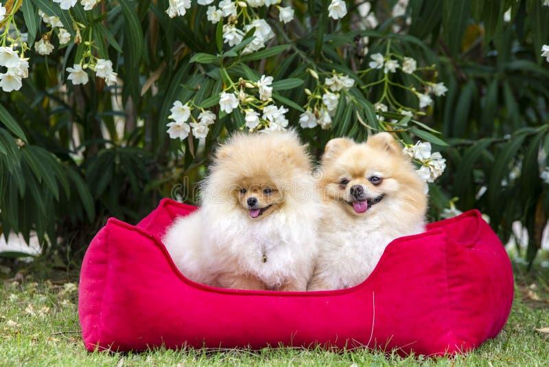 宠物;逗人喜爱的pomeranian狗本质上 库存图片