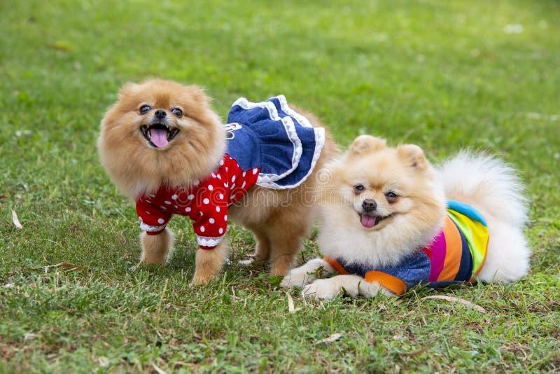 宠物;逗人喜爱的pomeranian狗本质上 免版税库存照片